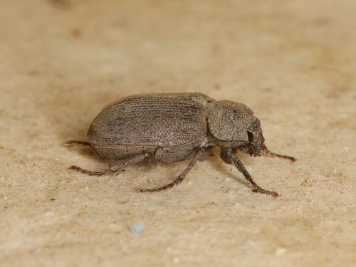 Maechidius sp.