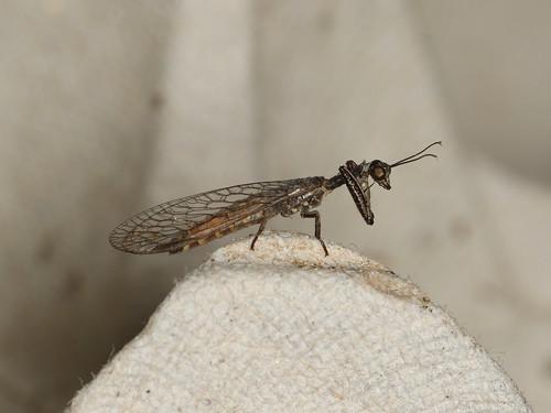 Theristria delicatula
