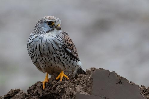 Faucon crécerelle Falco tinnunculus - Common Kestrel