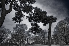 Pair of Black Pines - Central Park