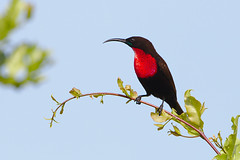 Scarlet-chested sunbird, Chalcomitra senegalensis, at Kruger National Park, South Africa.