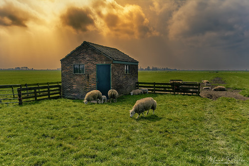 Sheep And Shed Also