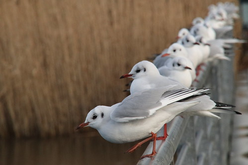 Gulls lined up on Bridge