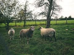 Schafe als Rasenmäher beim Nachbarn | 14. Oktober 2019 | Tarbek - Schleswig-Holstein - Deutschland