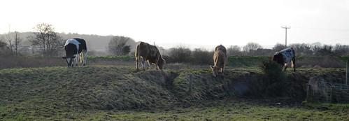 living on the edge: border cattle