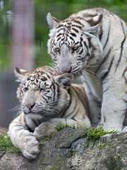 A cub licking another