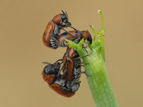 Coptocephala scopolina (Chrysomelidae - Leaf Beetles)