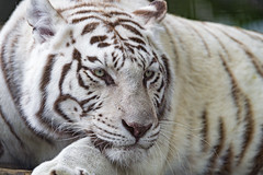 The mother white tiger quite close