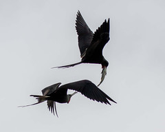 Pair of Magnificent Frigatebirds Inflight Protecting/Stealing a Catfish