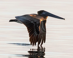 Brown Pelican Inflight at Sunset Wing Tip in Water