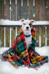 Dog  wraped in a Vintage Wool Blanket on a Snow Day