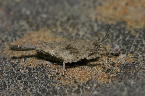 Tiny grasshopper--detail