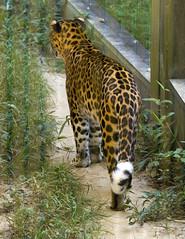 Memphis Zoo 08-29-2019 - Leopard 1