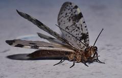 Dobsonflies Corydalidae of Whitsunday Shire