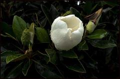Magnolia opening soon-1=