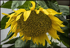 Sunflower on dull day-1=
