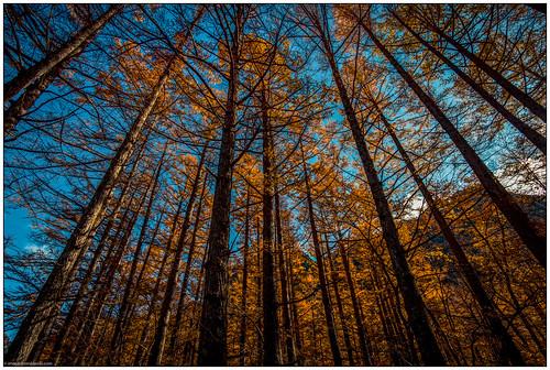 Kamikōchi - The Larch Forest