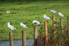 Line up of Juvenile Black-headed Gulls.