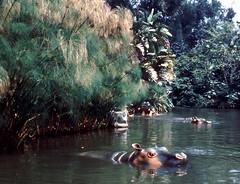 Disneyland hippos