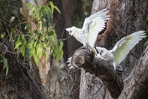 Cockatoo Throwing Tantrum