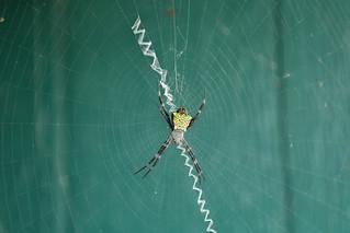 Kauai Spider