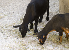 Memphis Zoo 08-29-2019 - Nigeriam Dwarf Goat 1