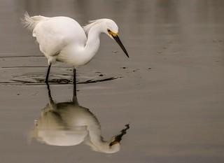 Snowy Egret - Explored