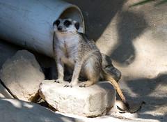 Memphis Zoo 08-29-2019 - Meerkats 1
