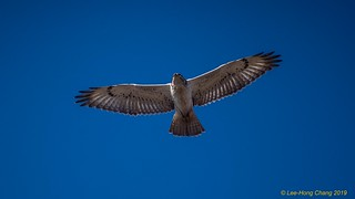 Young Ferruginous Hawk in flight | Buteo regalis