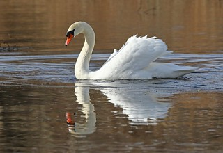 Swan with an icy reflection