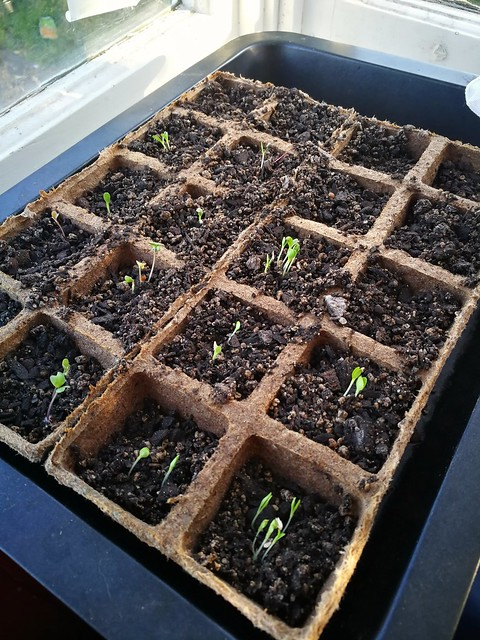 seed raising trays