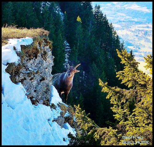 Pic des Mémises - Licorne sauvage des Alpes