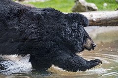 Asian black bear walking into the water