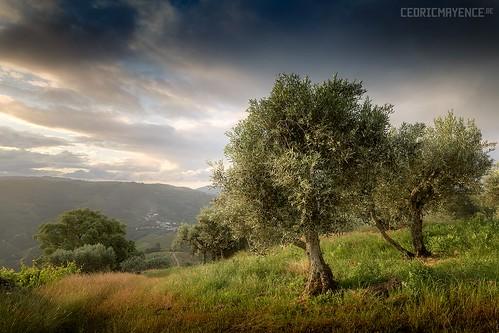 Des oliviers dans la vallée du Douro - Portugal