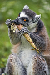 Lemur eating from the corn plant 2