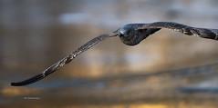 Herring gull, vinter