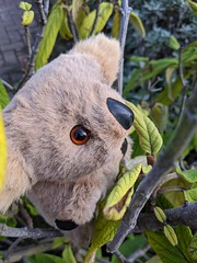 Koala gets Discharged from Hospital, Jan 2020