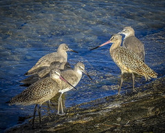 Marbled Godwits and Willets congregating