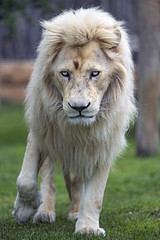 White male lion coming towards me