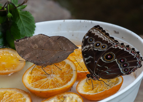 Dead Leaf and Morpho Butterflies