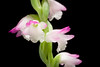 Photo:[Onna-son, Okinawa, Japan / 沖縄県国頭郡恩納村] Spiranthes sinensis (Pers.) Ames, Orchidaceae 2: 53 (1908) By sunoochi