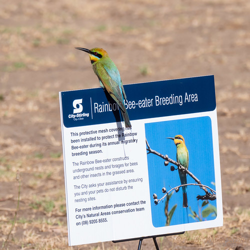 Rainbow Bee-eater 3 (Merops ornatus)