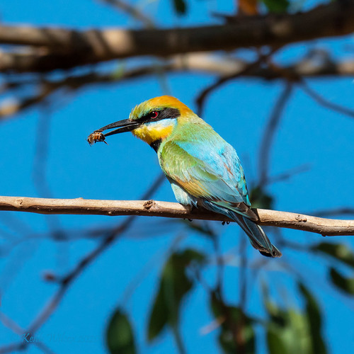 Rainbow Bee-eater 1 (Merops ornatus)
