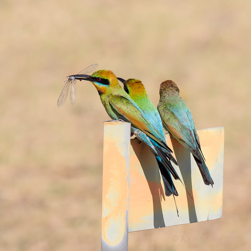 Rainbow Bee-eater 2 (Merops ornatus)