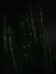 Cactus Nebula