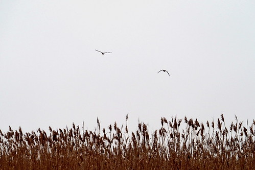 geese above reed