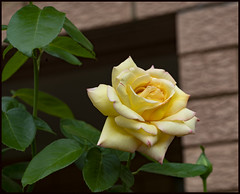 Another Peace Rose has opened-1=