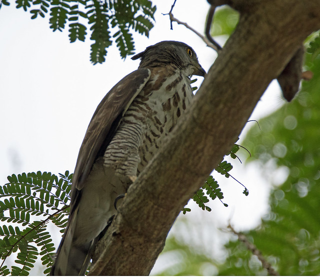 Crested Goshawk (Accipiter trivirgatus) side view w some crest showing