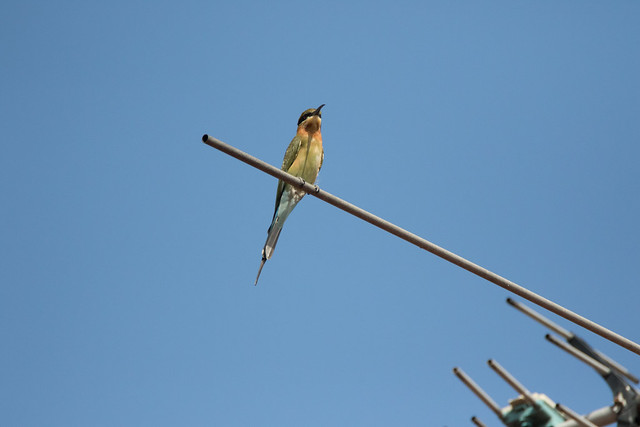 Blue-tailed Bee-eater (Merops philippinus) face forward