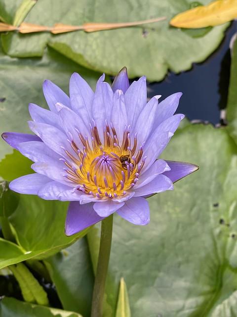 Lotus bloom with beee #bees #lotus #singapore #tiongbahru
